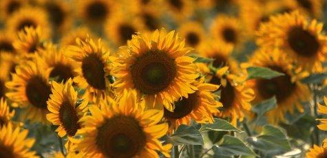 Sonnenblume-Sommer-Sonne_w475_h230_cw475_ch230_thumb
